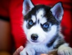 萌寵哈士奇雪橇犬 冠軍品質繁育 質保終身簽訂
