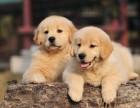 正规狗场繁殖纯种健康金毛犬 请大家放心选购