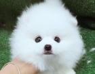 本地正规犬场一出售各种世界名犬【博美】包养活