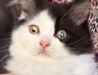 苏格兰高地折耳猫 稀有黑白梵文加白长毛立耳妹纸 CFA