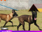 哪里有马犬出售多少钱,马犬的照片