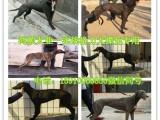 湛江哪里有卖纯种卡斯罗的的 杜高犬价格