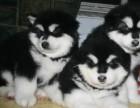 棕色阿拉斯加幼犬纯阿拉斯加幼犬有血统纯种健康