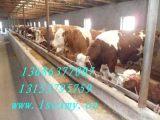 供应2017年肉牛价格肉牛养殖效益分析改良肉牛繁育母牛屠宰牛