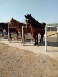 出售骑乘马,旅游观光马,宠物矮马