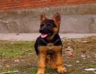 赛级双血统德牧护卫犬 专业犬舍繁殖 高智商聪明 疫苗做齐