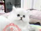 猫舍直销纯种 家养散养银渐层折耳猫公母均有多只出售
