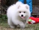 推荐犬舍 攀枝花哪里有卖纯种萨摩耶,萨摩耶多少钱?