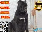 卡斯罗犬多少钱 卡斯罗幼犬多少钱 卡斯罗护卫犬