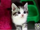 自家繁育纯血短毛幼猫多只弟弟妹妹都有可办理证书欢