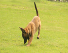 马犬好训练吗 马犬一般多少钱 马犬好一点的多少钱