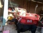 13个月的杜宾犬3000元(公)