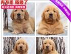 精品宠物繁殖基地长期出售金毛幼犬 保证品质健康