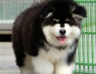 出售纯种巨型阿拉斯加犬,疫苗已做,健康保证公母都有