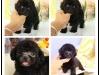 家养红棕色小体泰迪犬