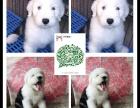 天津出售2 4个月幼犬(古牧)疫苗齐签协议