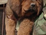 哪里能买到纯正藏獒犬 什么时候能买到藏獒纯正藏獒价格
