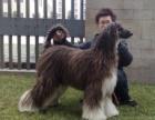 精品阿富汗猎犬包纯种保健康签协议出售全国可飞可上门