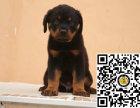 纯种罗威纳狗狗出售