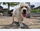 哪里有拉布拉多,纯种拉布拉多犬出售,包纯包健康