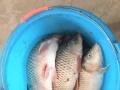 富裕县大河东渔场水面2000亩,加土地共3000亩