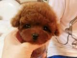 纯种 泰迪 幼犬出售 健康包三个月可签协议