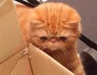 自家猫舍繁殖出售 加菲猫 签正规协议 可刷卡可送货