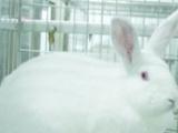 肉兔价格长毛兔毛多少钱一斤