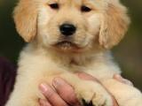 昆明出售纯种血缘赛级金毛犬幼金毛巡回犬金毛宠物狗包安康包纯种