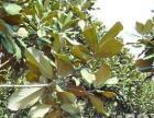 湖州广玉兰 香樟树 出售