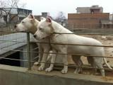 出售品种好的杜高犬 杜高犬图片