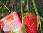 新鲜有机草莓采摘