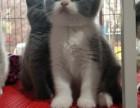 商丘宠物猫 猫舍 英短 短毛猫