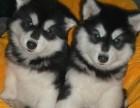纯种十字脸阿拉斯加雪橇幼犬巨型阿拉斯加 宠物狗活体