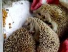 刺猬松松鼠非常漂亮