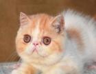 五短身材 进口血系品质加菲猫幼猫出售