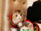 出售家养纯种大脸甜美一线加菲猫