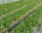 铁岭草莓采摘