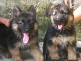 福州养殖基地直销德国牧羊犬及其它幼犬 签协议 送用品
