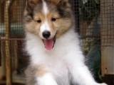 犬舍直卖纯血统喜乐蒂犬 保证健康 可上门签协议