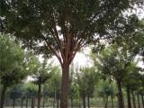 黄石60公分国槐树种植棵国槐树