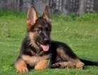 南昌纯种德国牧羊犬多少钱 在南昌什么地方能买到纯种德国牧羊犬