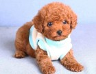 专业繁殖(纯种泰迪幼犬)可来基地挑选 签协议保健康