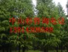 优质的13公分中山杉 优质的14公分中山杉
