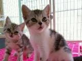 家养美短 英短 折耳猫咪出售