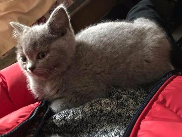 健康活泼的小蓝猫找新家了 定期打苗 价格优惠