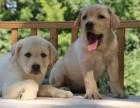 出售品相好血统纯的南宁拉布拉多犬 保证纯种健康