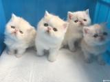 加菲猫猫舍 健康纯种加菲猫出售