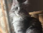 缅因猫蓝虎斑银虎斑出售成都