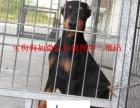 哪里有纯种杜宾犬出售 哪里的杜宾犬最便宜